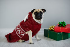 品种哈巴狗可笑的小狗在驯鹿衣服的一个假日之前穿戴 库存照片