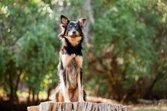 品种大牧羊犬混合 免版税库存照片