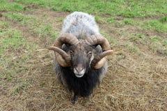 品种少见绵羊 库存照片