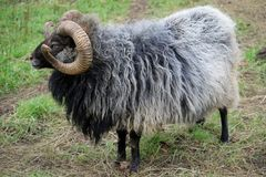 品种少见绵羊 免版税库存照片