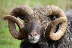 品种少见绵羊 库存图片