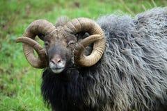 品种少见绵羊 免版税库存图片