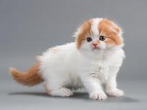 品种折叠小猫苏格兰人 免版税库存图片