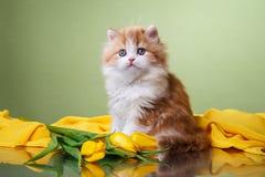 品种折叠小猫苏格兰人 库存图片