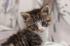 品种折叠小猫苏格兰年轻人 库存照片