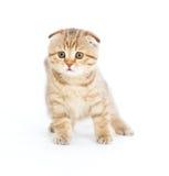 品种折叠查出小猫纯苏格兰坚持 免版税图库摄影