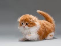 品种折叠猎人小猫苏格兰人 库存图片