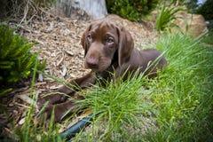 品种拉布拉多位于的小狗retriver 免版税图库摄影