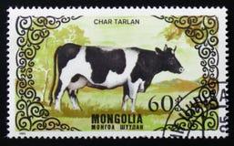 品种母牛,大约1985年 免版税库存照片
