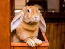 品种法国公羊兔子与被降下的耳朵的看出于cage_ 库存图片
