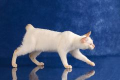 品种湄公河短尾嬉戏的蓝眼睛的猫在蓝色演播室背景偷偷地走 免版税库存图片