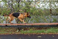 品种狗一只德国牧羊犬 免版税库存图片