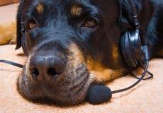 品种狗女性rottweiler雪 图库摄影