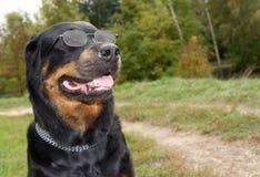 品种狗女性rottweiler雪 库存图片