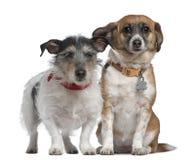 品种狗插孔混杂的罗素狗 库存图片