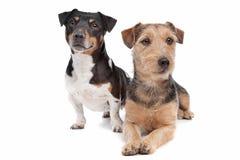 品种狗插孔混杂的罗素狗 免版税库存照片
