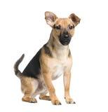 品种狗插孔混杂的pinsch罗素 免版税库存照片