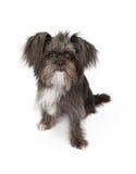 品种狗混杂的小的年轻人 免版税库存照片