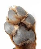 品种狗爪子rottweiler 免版税库存图片