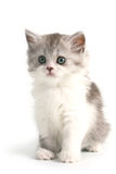 品种猫咪苏格兰平直的年轻人 免版税库存照片