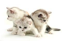 品种猫咪苏格兰平直的trhee年轻人 库存照片