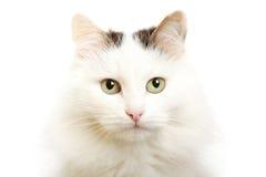 品种猫土耳其有篷货车 免版税库存照片