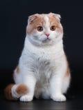 品种猫折叠苏格兰年轻人 库存图片