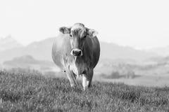品种瑞士人布朗牛的一头幼小母牛在一个春天早晨站立 库存照片