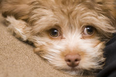 品种眼睛混合哀伤的小狗 库存照片