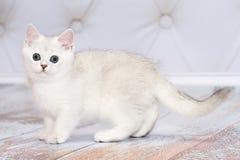 品种英国小猫 罕见的着色-一银色chinchill 免版税库存图片