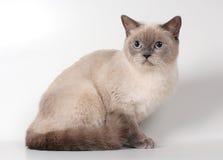 品种英国猫 免版税库存图片