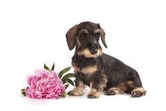 品种达克斯猎犬的棕色颜色狗  免版税图库摄影