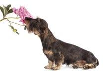 品种达克斯猎犬的棕色颜色狗  免版税库存照片