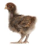 品种鸡orpington 免版税图库摄影