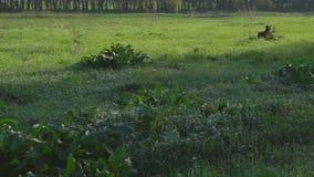 品种drathaar狩猎狗在绿色领域的 股票视频