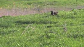 品种drathaar狩猎狗在绿色领域的 股票录像