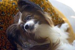 品种papillon的狗在沙发的 库存照片