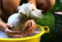 哄骗在黄色水池的洗涤白色小狗 免版税库存图片