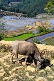 哈妮种族人民的露台的米领域在原阳,云南,中国 图库摄影