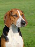 哈密尔顿Scenthound在春天庭院 免版税库存照片
