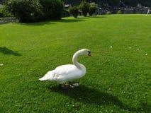 哈尔斯塔特,奥地利美丽的白色天鹅  图库摄影