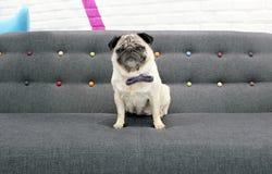 哈巴狗坐佩带蝶形领结的沙发 图库摄影