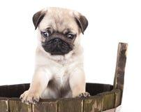 哈巴狗小狗纯血统的动物 免版税库存图片