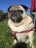 哈巴狗狗坐在领域的草 免版税图库摄影