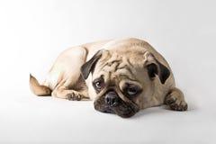哈巴狗 免版税库存图片