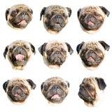 哈巴狗emoji 套一条哈巴狗狗的画象用不同的枪口表示的 库存照片