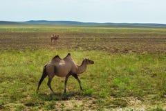 哈萨克人骆驼 免版税图库摄影