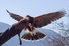 哈里斯在猎鹰训练术陈列的鹰着陆 免版税库存照片