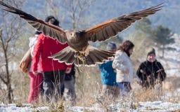 哈里斯的在猎鹰训练术陈列的鹰飞行 库存照片