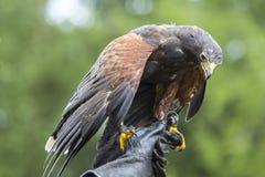 哈里斯的鹰在以鹰狩猎者的手上栖息 免版税图库摄影